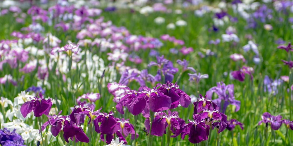 How to Care for Irises Like an Expert