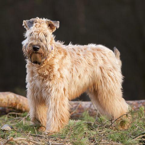 Irish Soft Coated Wheaten Terrier!