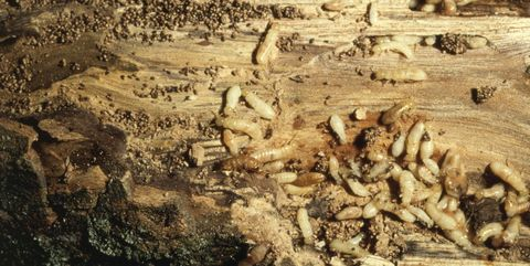 How To Get Rid Of Termites Termite Treatment