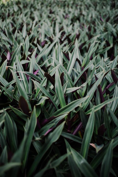 Grass, Green, Flower, Plant, Leaf, Grass family, Water, Groundcover, Flowering plant, tasmanian flax-lily,