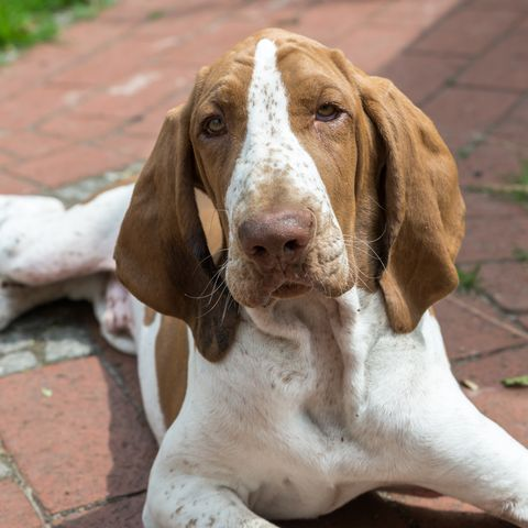 Young dog Bracco Italiano laying on a terrace