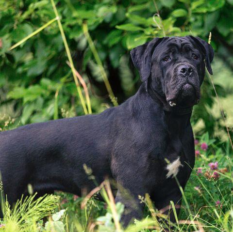 Cane corso dog outdoors