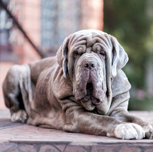 13 Italian Dog Breeds: Bolognese, Saint Bernard, and More