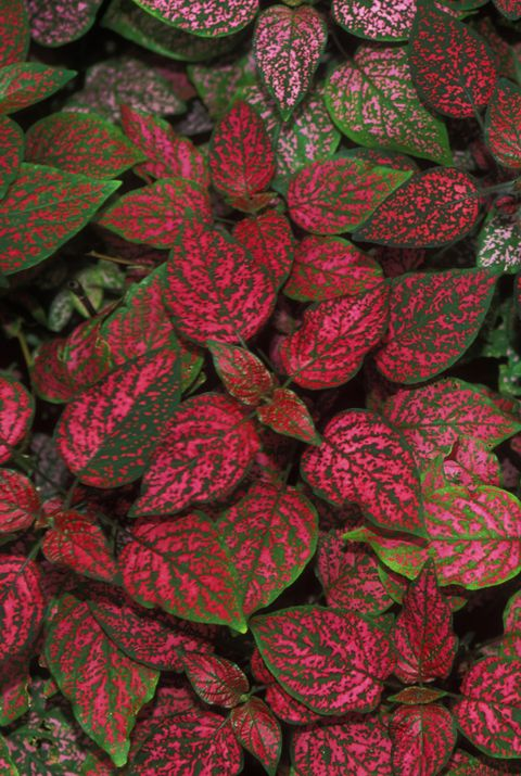 italy, liguria region, ventimiglia, villa hanbury garden, polka dot plant or hypoestes sanguinolenta