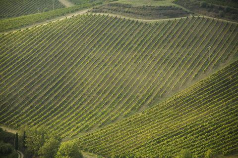 Italie, Toscane, Chianti, Radda, vignobles de raisins Sangiovese