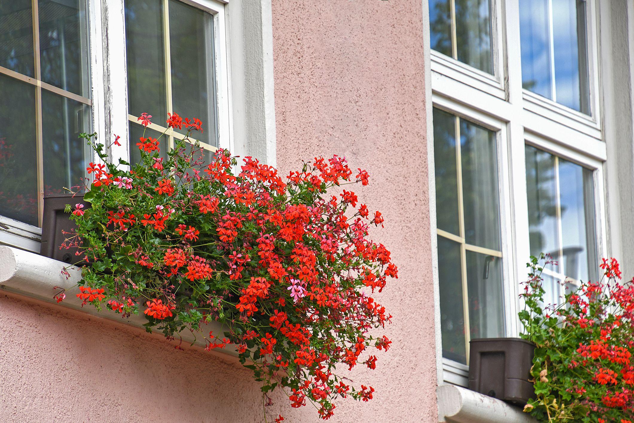 ivy geranium best hanging plants