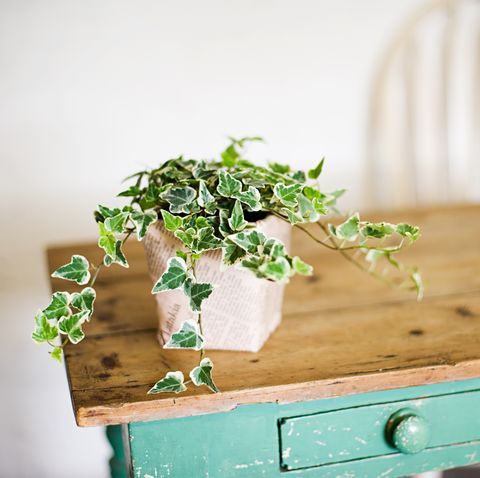 Ivy growing out of plant pot on wooden table