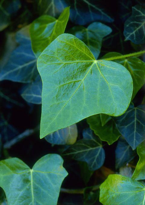 Ivy (Hedera helix) 'Glymii'