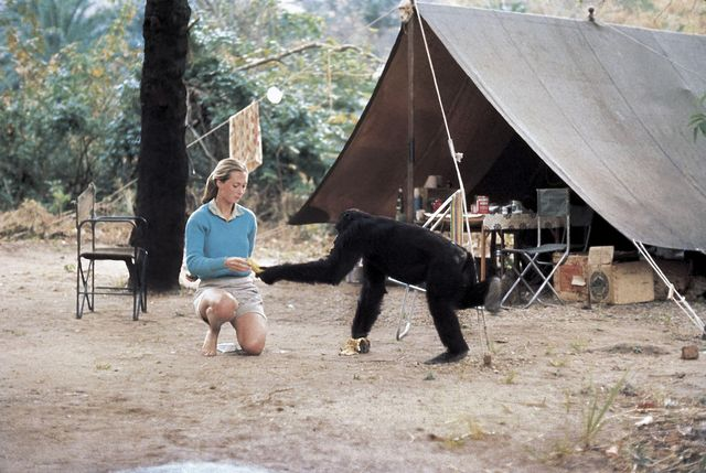 young researcher jane goodall with david greybeard, the first chimpanzee to lose his fear of her when she began her studies in gombe stream chimpanzee reserve in tanganyika