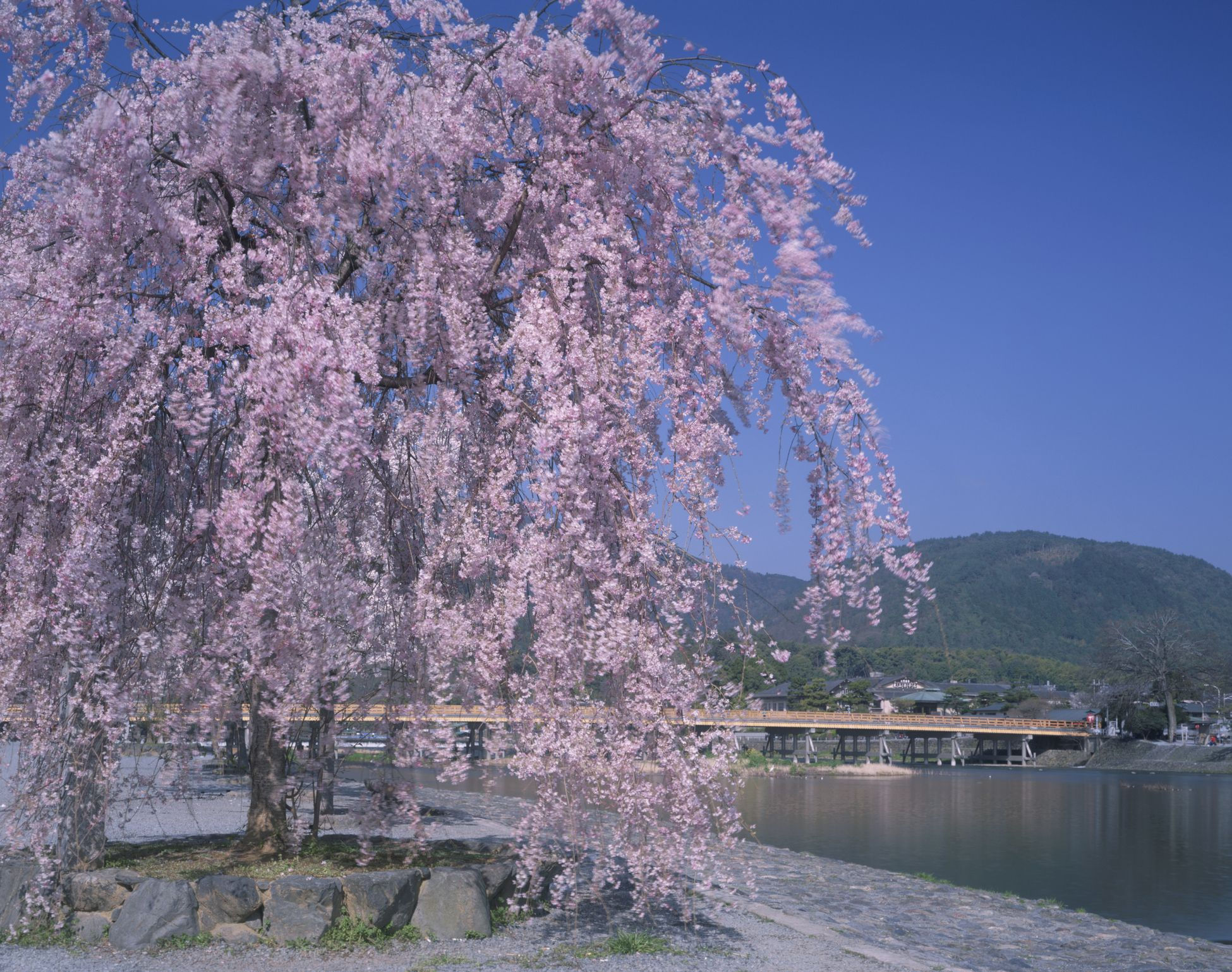 Japan, Kyoto Prefecture, Arashiyama, Oi River, Togetsukyo Bridge, Mt Ogura, Weeping Cherry tree at riverside