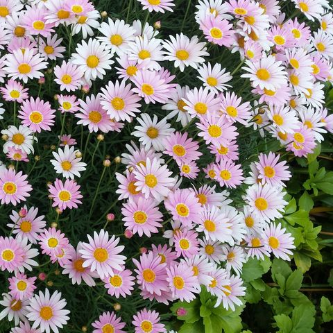 Flower, Flowering plant, Marguerite daisy, smooth aster, aromatic aster, heath aster, alpine aster, Plant, new york aster, new york aster,
