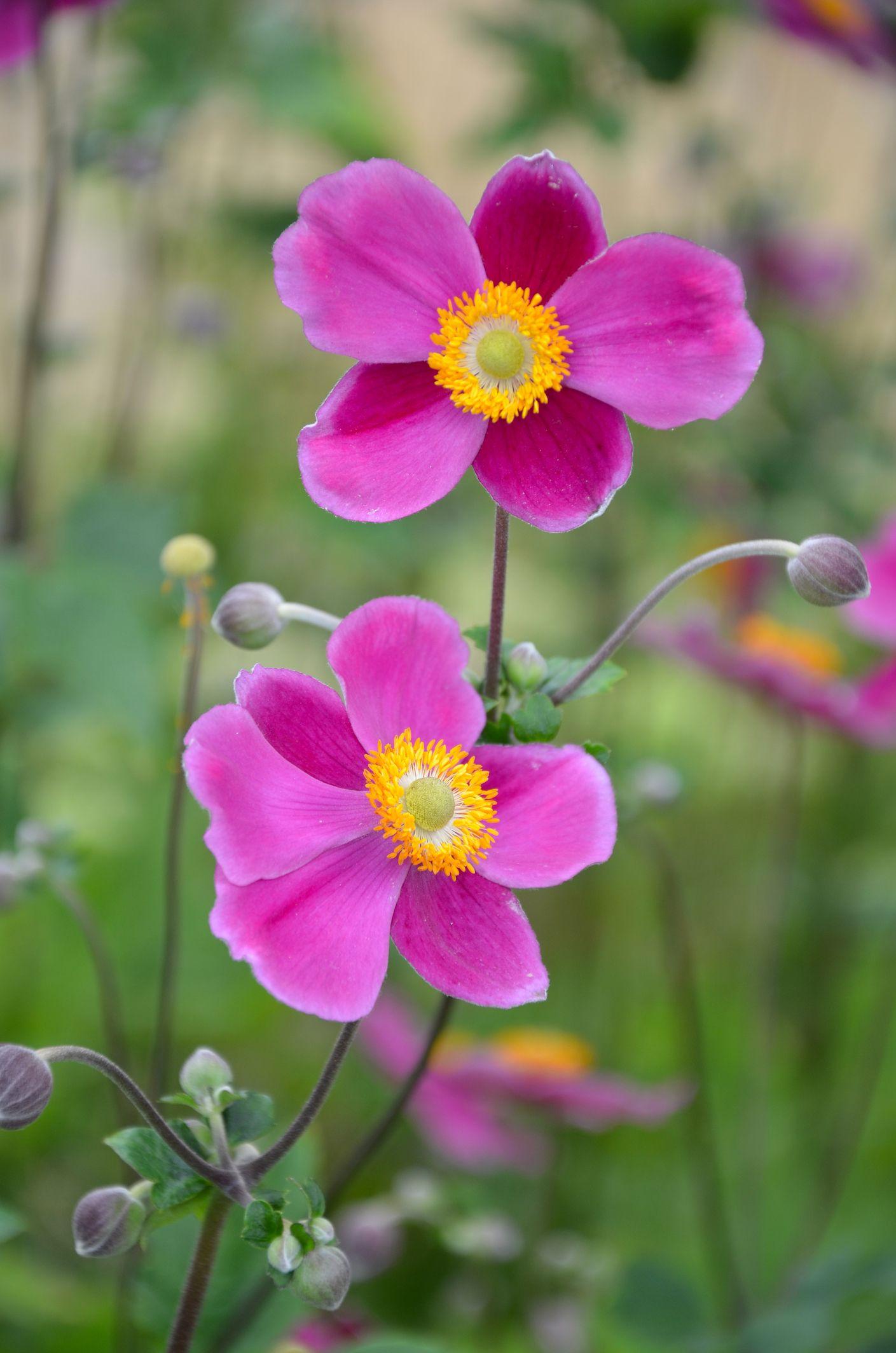 15 Best Fall Flowers For An Autumn Garden Prettiest Flowers To