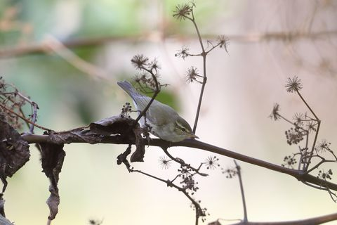 Japanese Bush Warbler on a branch of tree