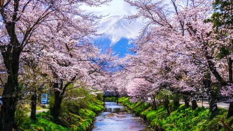 Japanese Cherry Blossom with Mt. Fuji at Omiya Bridge in Oshino Hakkai Village