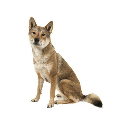japanese dog breeds - shikoku