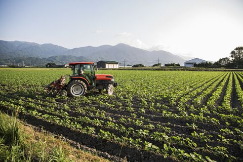 japanese farmer driving red tractor through a field of soy bean plants