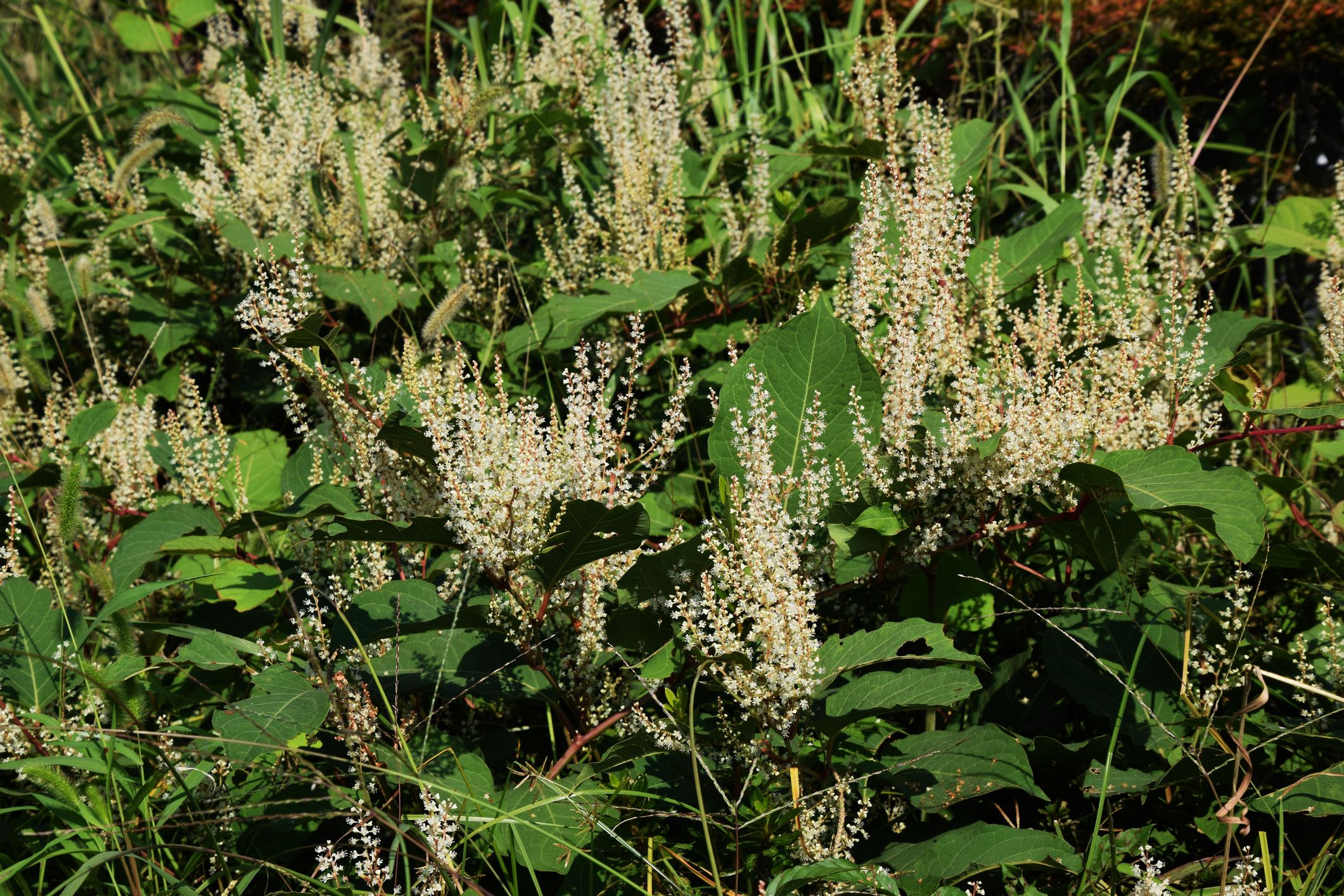 House hunters urged to be extra vigilant for signs of Japanese knotweed this winter as sellers could conceal plant