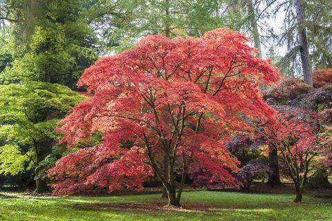 Érable japonais à Westonbirt Arboretum