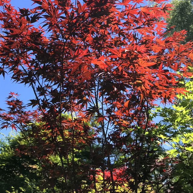 stock photo of bright red japanese maple growing in bright and sunny house garden along with contrasting green foliage with branches and twigs against the blue sky maple trees are easy plant and can be grown in plant pots and have lush and bright colour leaves