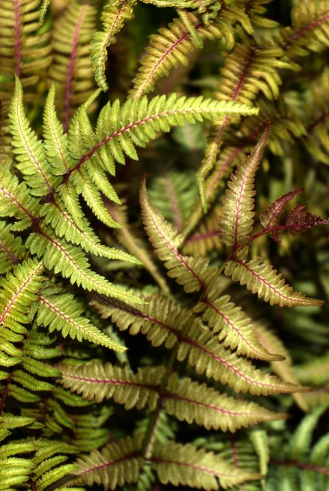 japanese painted fern or athyrium niponicum metallicum grows in a shadow garden