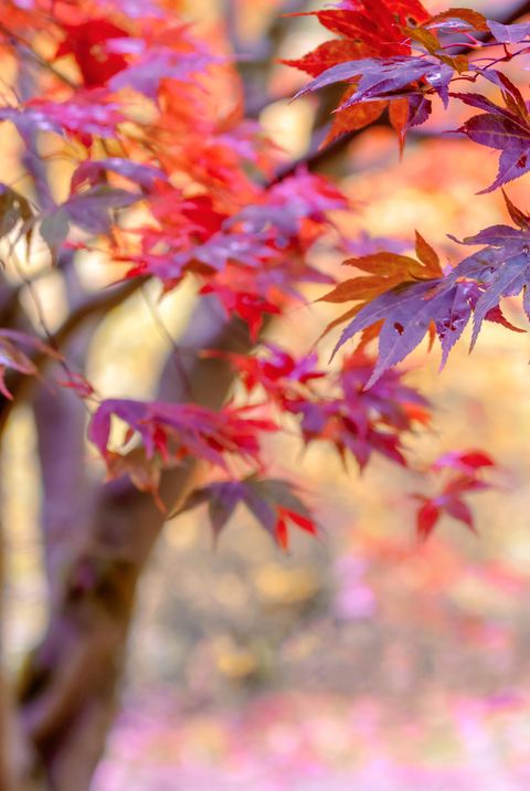 japanese maple tree for small gardens
