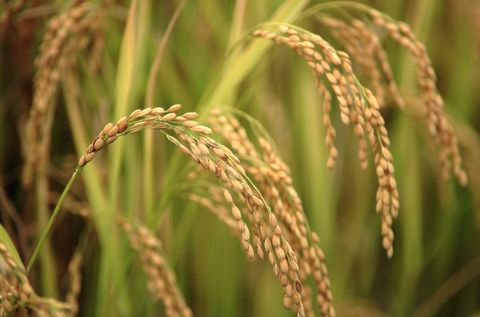 Japanese Rice Plants