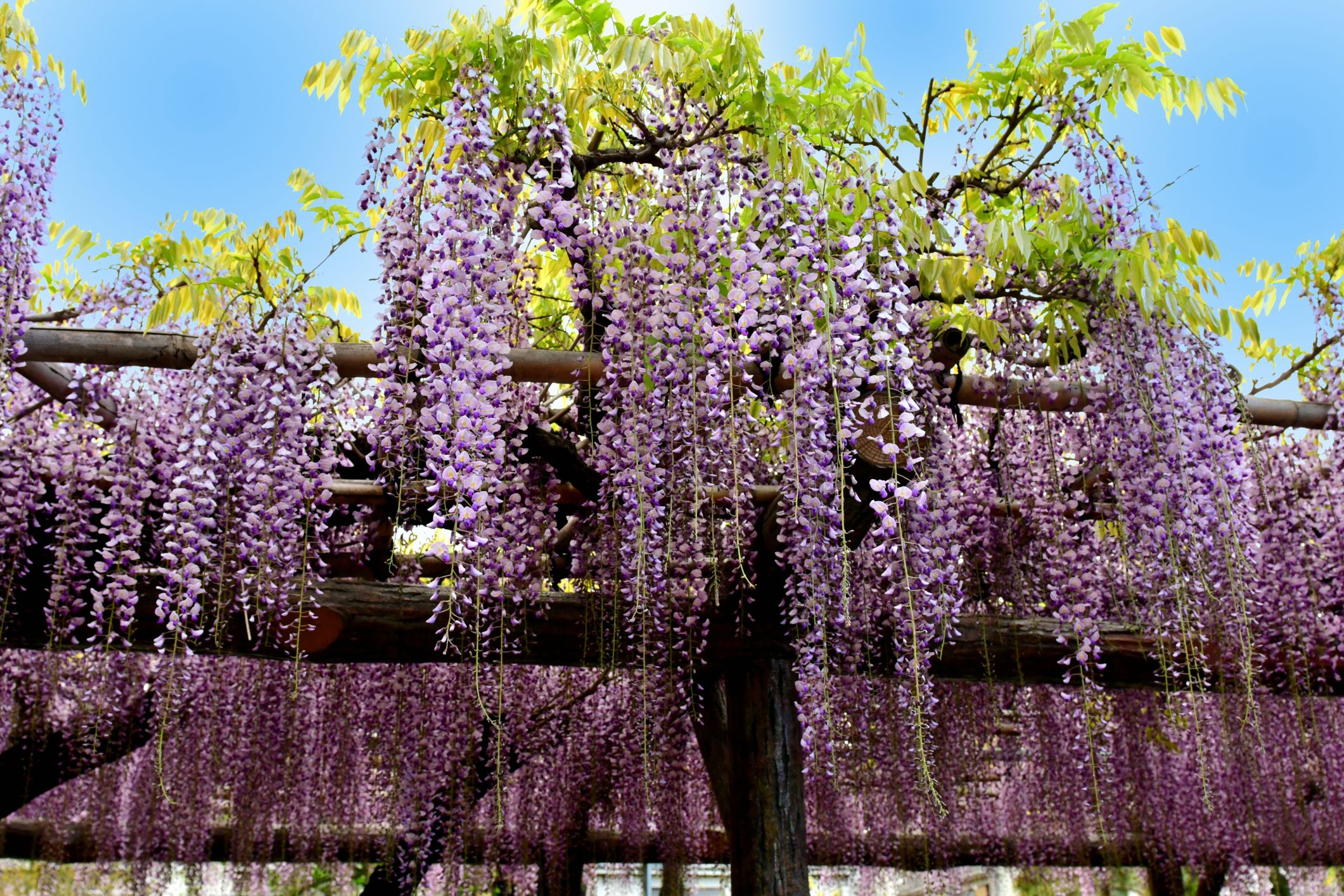 Home Depot Is Selling Wisteria Trees You Can Plant In Your