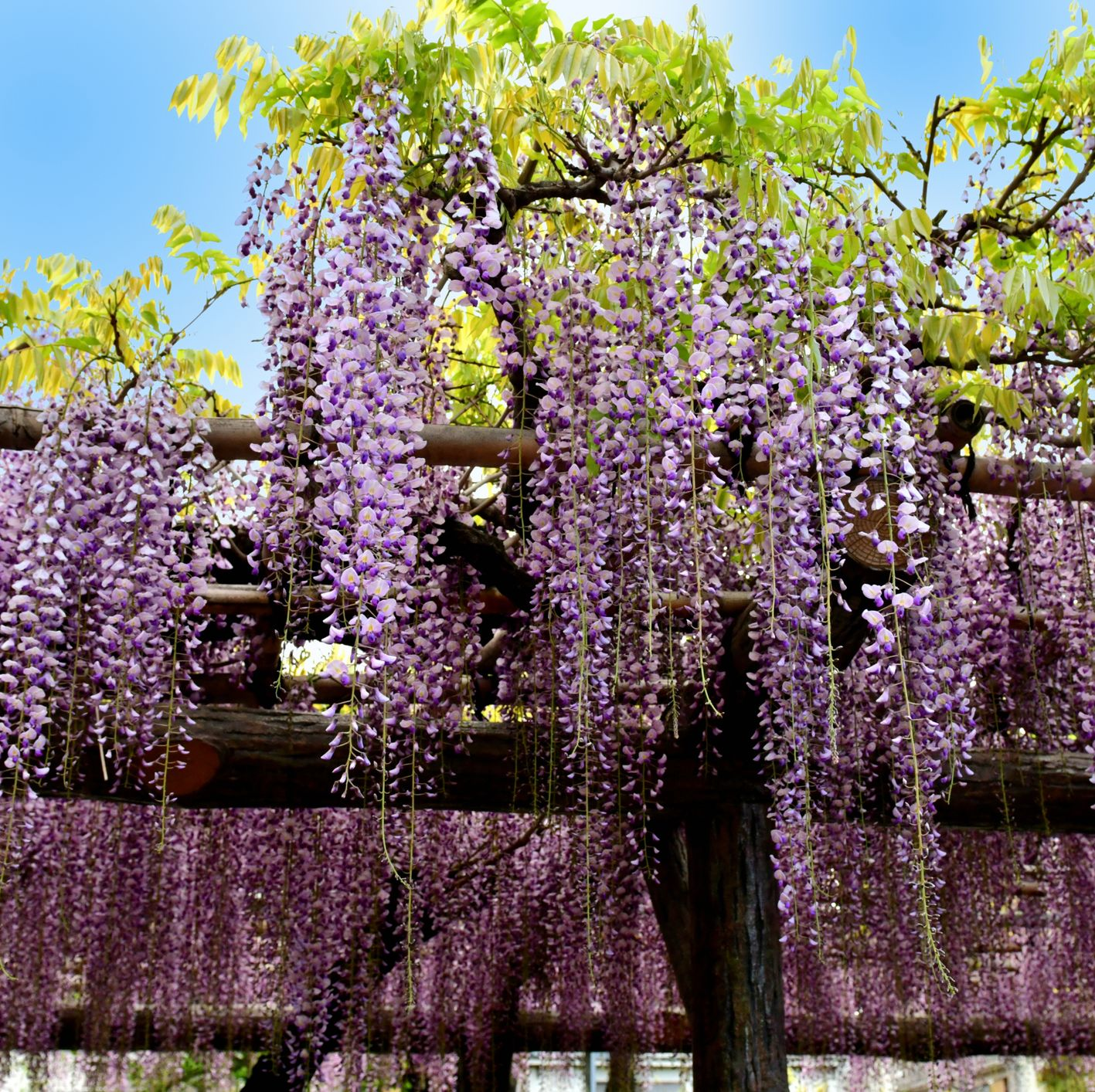 Home Depot is Selling Wisteria Trees You Can Plant in Your Backyard—For Just $23