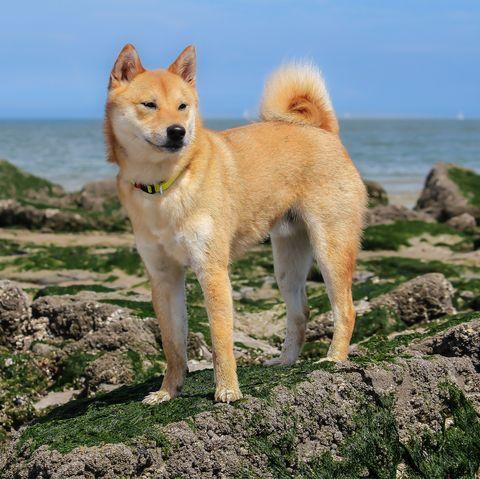 8 Japanese Dog Breeds Akita Kai Ken Shikoku And More
