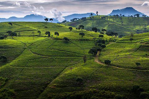 Tea plantations in Ciwidey, Java