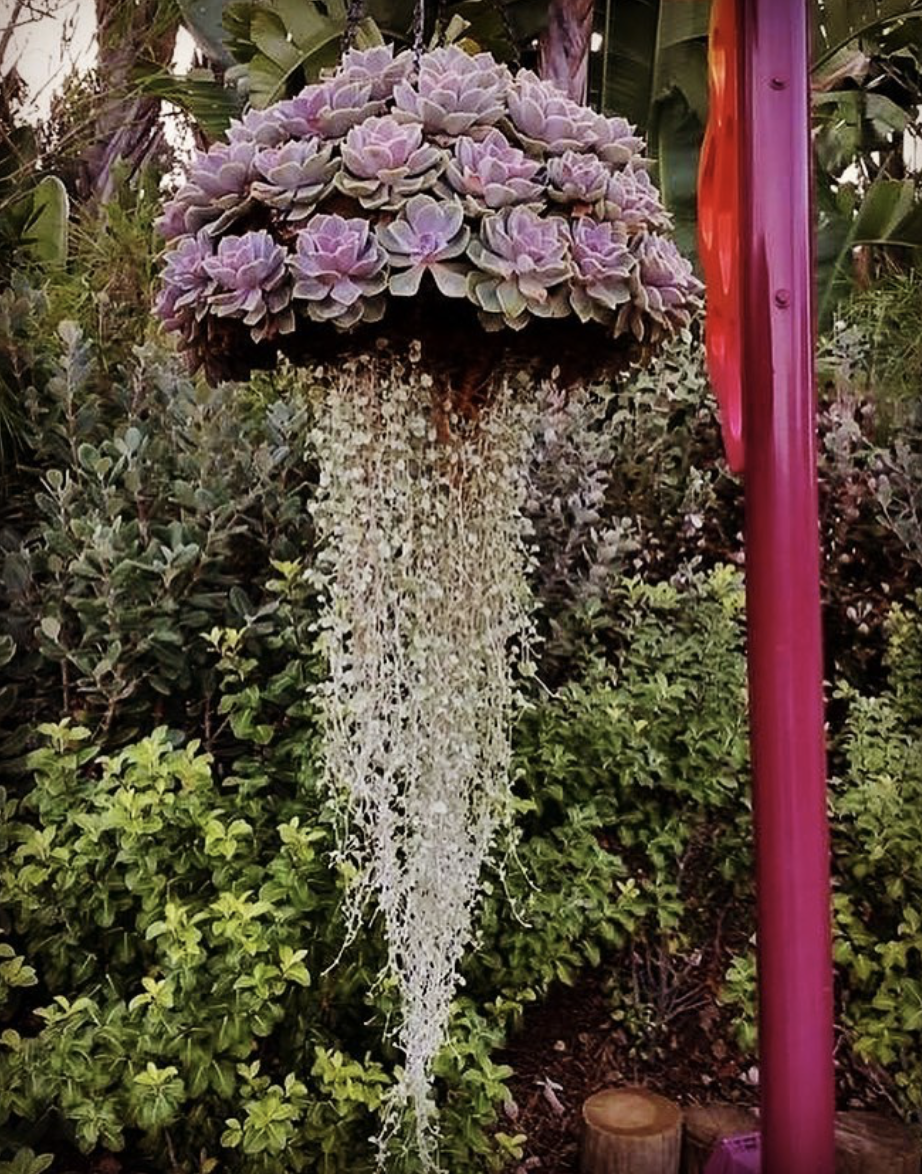Jellyfish Succulents Are The Summer S Most Whimsical Garden Trend How To Make A Jellyfish Succulent