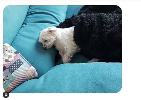 Vertebrate, Dog, Mammal, Canidae, Carnivore, Companion dog, Terrier, Dog bed, Pillow, Dog breed,