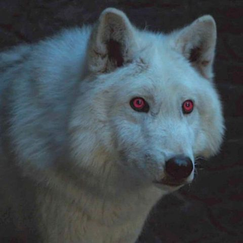 Canidae, canis lupus tundrarum, Wolf, Wolfdog, Snout, Human, Fur, Wildlife, Carnivore, Fictional character,
