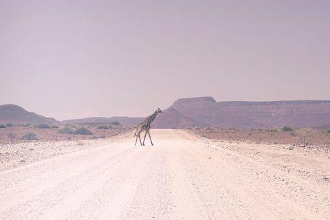Desert, Natural environment, Wadi, Sand, Landscape, Ecoregion, Wildlife, Makhtesh, Camel, Road,