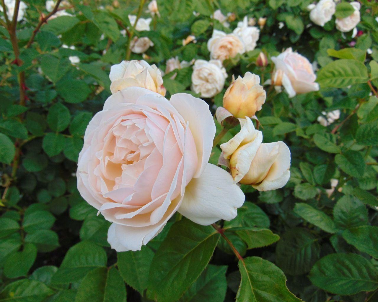 Juliet Rose - BillyOh.com