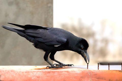 Jungle Crow and nail