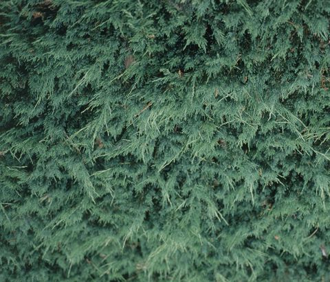 Juniperus horizontalis 'Douglasii' (Creeping juniper), close-up on leaves