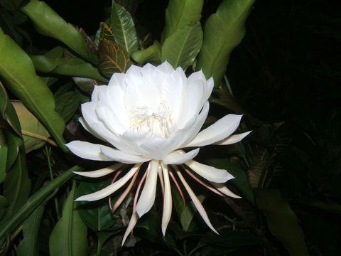 Kadupul flower BillyOh.com