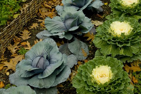 a close up detailed view of ornamental cabbage and kale surrounded by dead fall leaves enclosed by a low twig fence in a garden patch