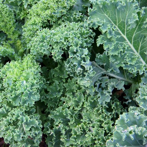 Kale growing in garden