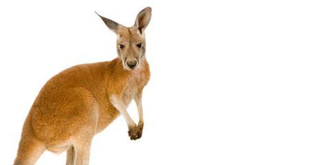 Kangaroo Looking at Camera