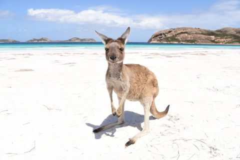 the iconic kangaroos of lucky bay in the cape le grand national park, western australia