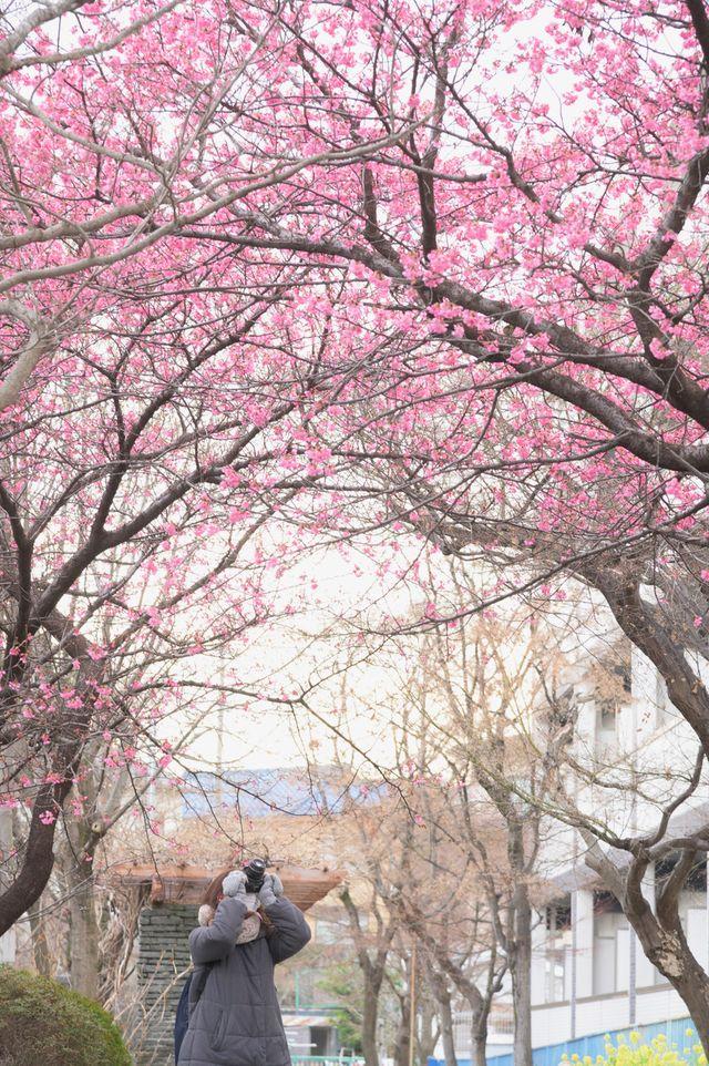 京都 淀の付近に咲く満開の「正月桜」