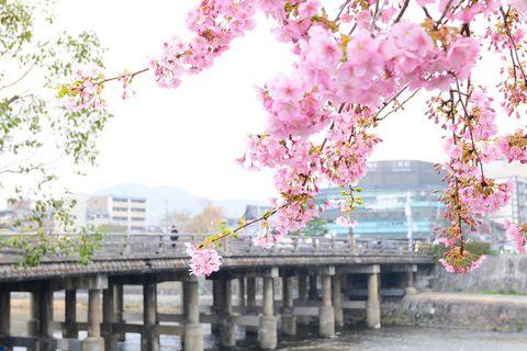 きょうとあす 河津桜