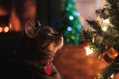 Cat with Collar Looking at Christmas Tree