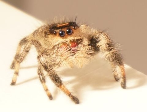 Spider, Insect, Wolf spider, Close-up, Invertebrate, Macro photography, Tarantula, Eye, Arachnid, Organ,
