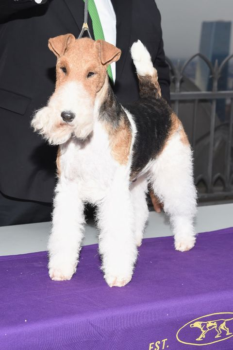 f0ecee6afb Cute Dog Pictures 2019 The Westminster Best in Show King the Fox Terrier