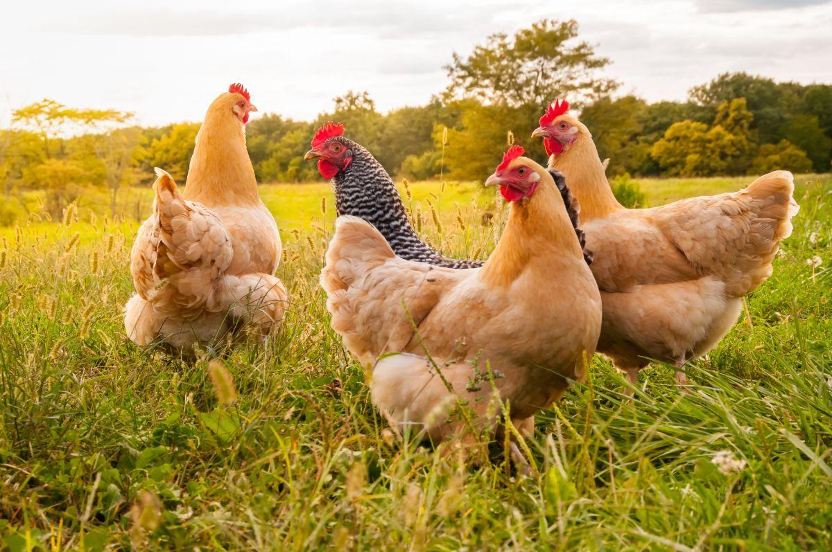 Hoeveel kippen leven er in de Nederlandse vleesindustrie?