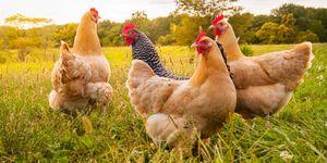 Kippen in de Nederlandse vleesindustrie