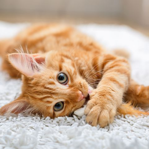 Kitten playing with toy mouse